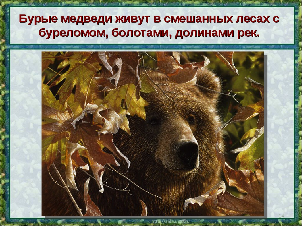 Бурые медведи живут в смешанных лесах с буреломом, болотами, долинами рек. *
