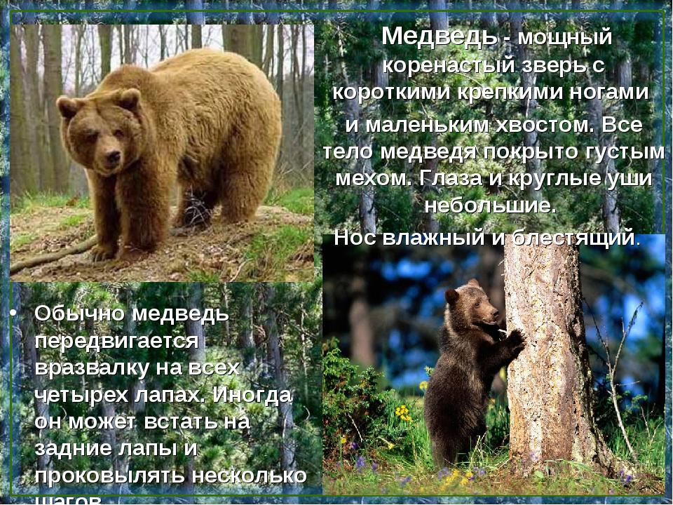 Медведь - мощный коренастый зверь с короткими крепкими ногами и маленьким хв...