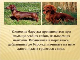 Охота на барсука производится при помощи особых собак, называемых таксами. Вп