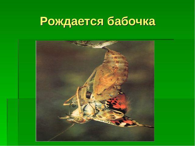 Рождается бабочка