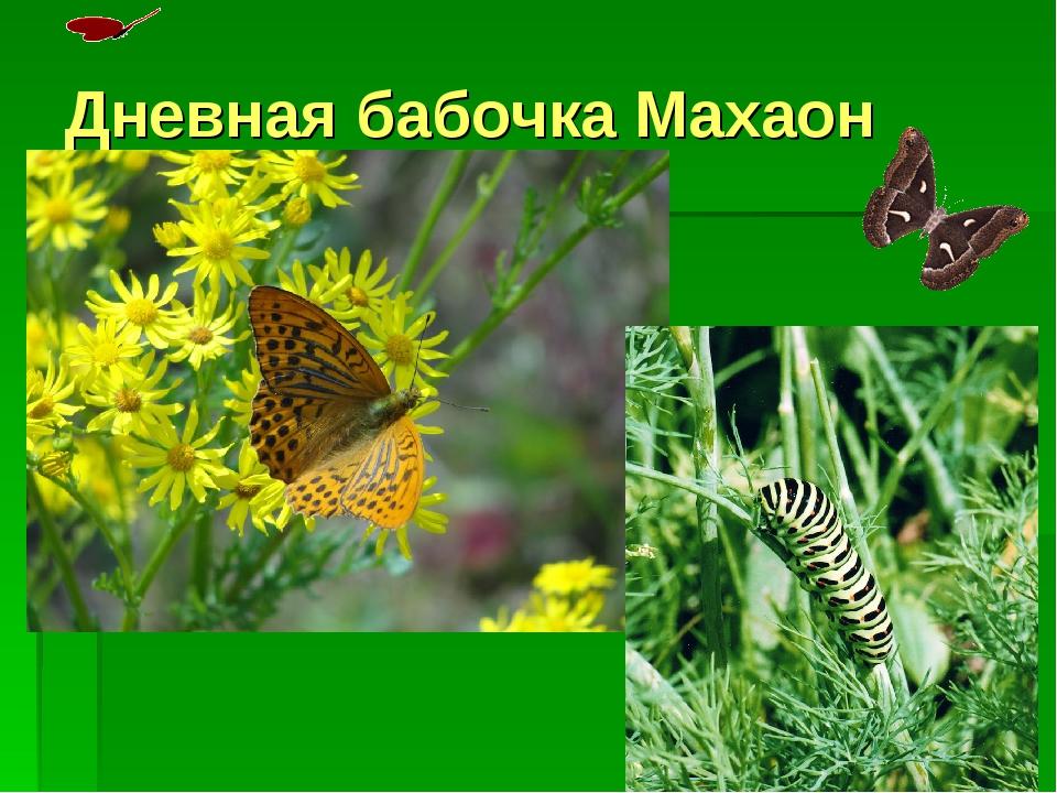 Дневная бабочка Махаон
