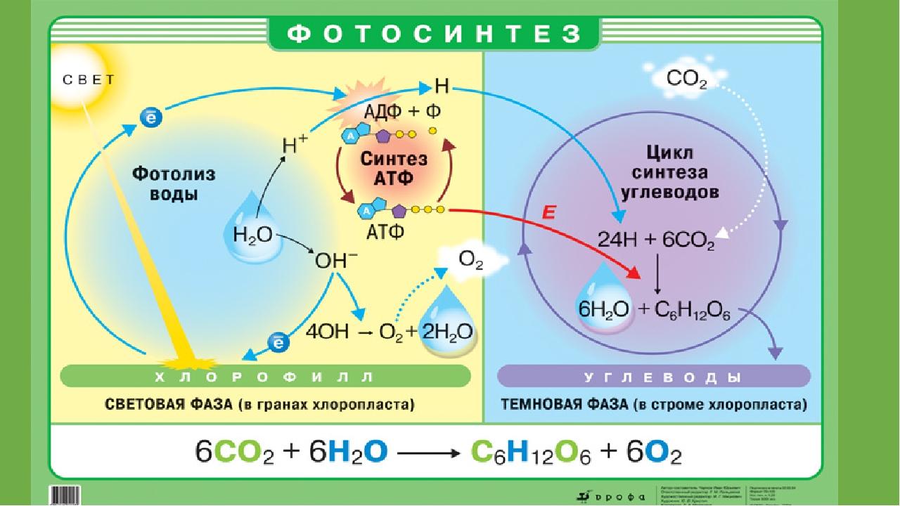 Схема фотосинтеза световая фаза и темновая фаза фотосинтеза