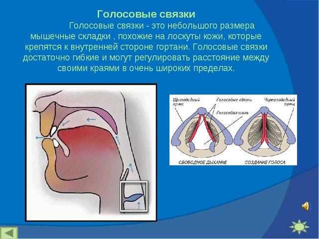 Голосовые связки Голосовые связки - это небольшого размера мышечные складк...