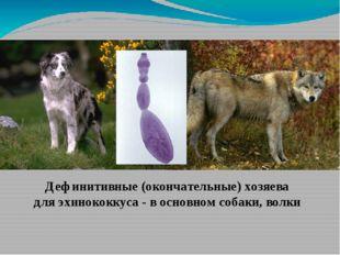 Дефинитивные (окончательные) хозяева для эхинококкуса - в основном собаки, в