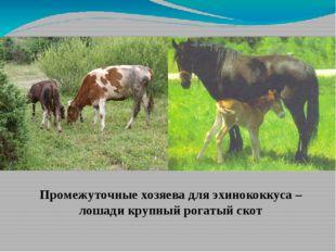 Промежуточные хозяева для эхинококкуса – лошади крупный рогатый скот