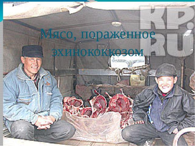 Мясо, пораженное эхинококкозом