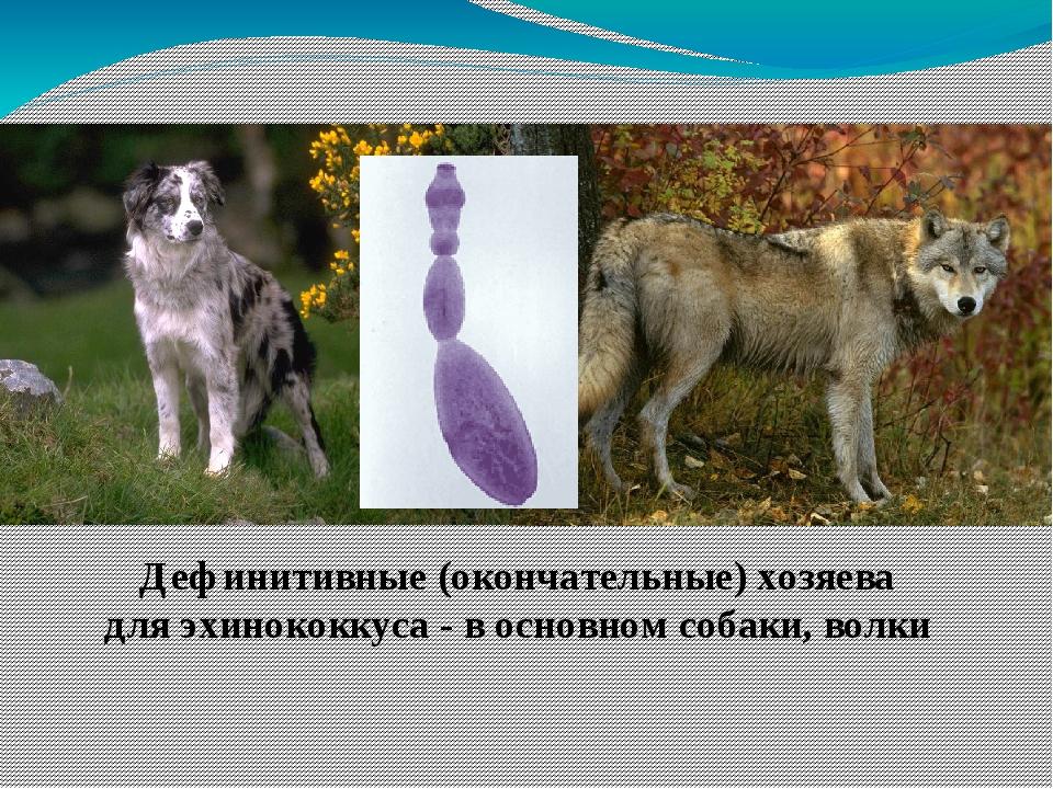 Дефинитивные (окончательные) хозяева для эхинококкуса - в основном собаки, в...
