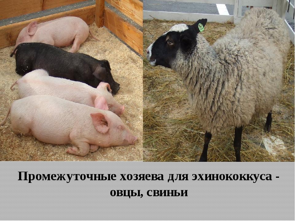 Промежуточные хозяева для эхинококкуса - овцы, свиньи