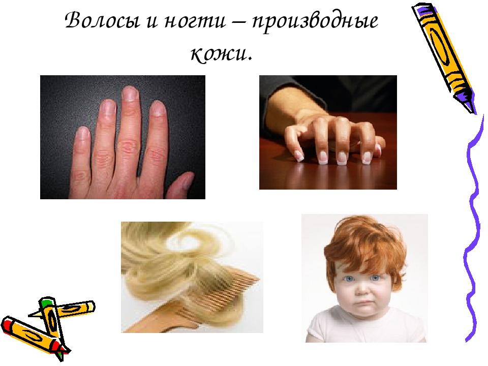 Волосы и ногти – производные кожи.