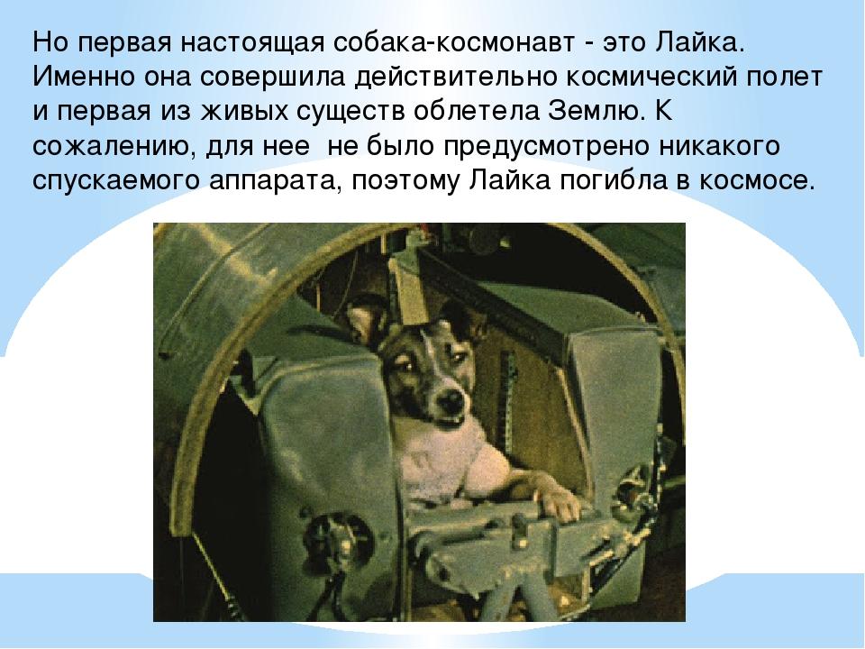 Но первая настоящая собака-космонавт - это Лайка. Именно она совершила действ...