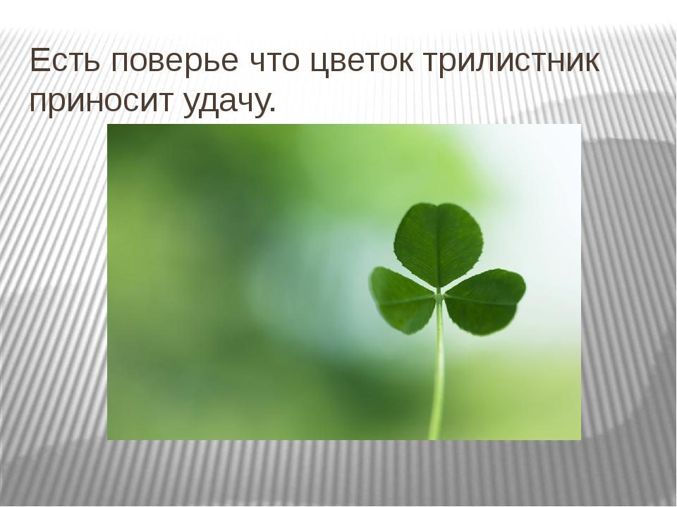 Есть поверье что цветок трилистник приносит удачу.