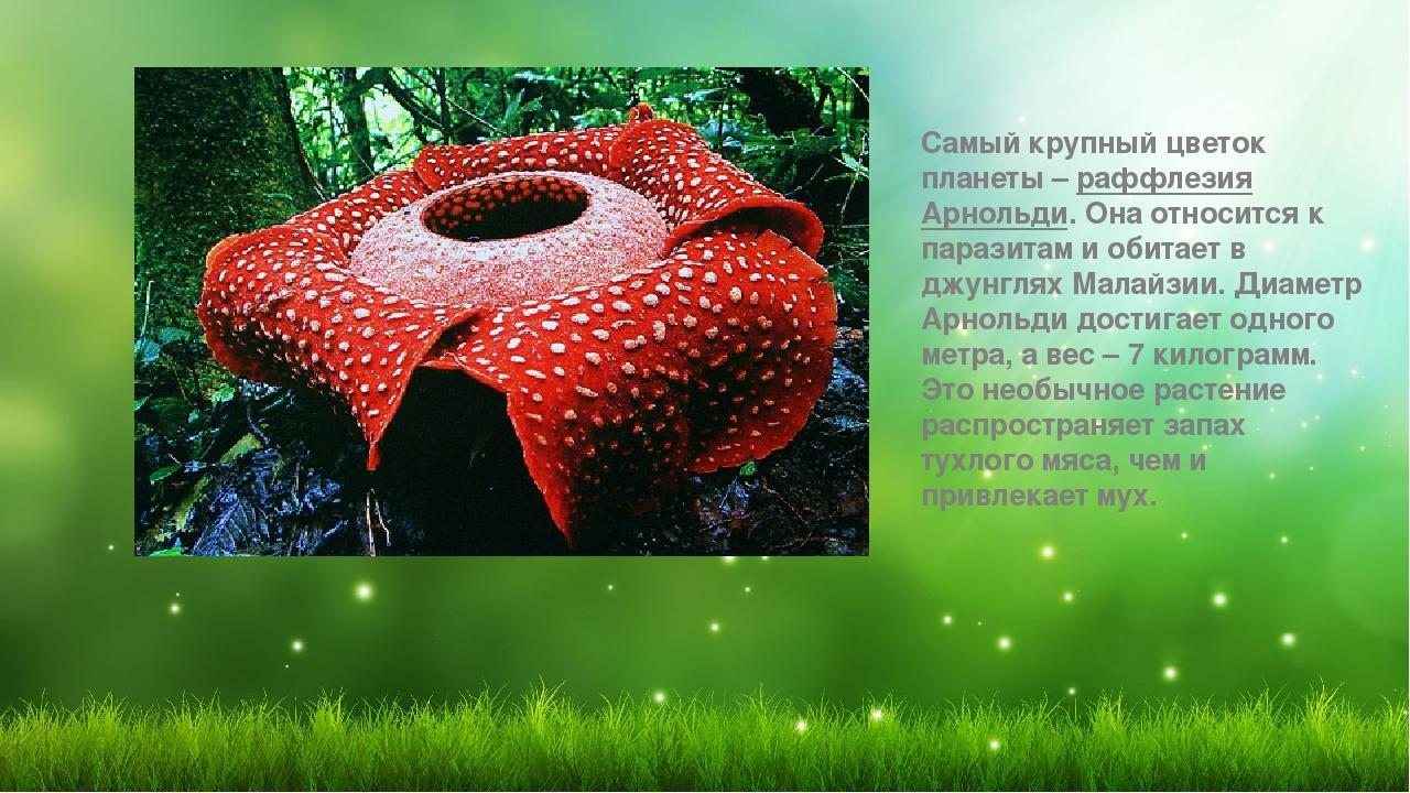 Самый большой цветок планеты