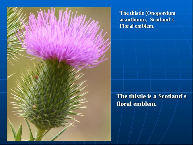 The thistle (Onopordum acanthium), Scotland's Floral emblem. The thistle is a...