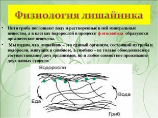 Нити гриба поглощают воду и растворенные в ней минеральные вещества, а в клет