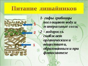 1- гифы грибницы поглощают воду и минеральные соли; 2 – водоросль снабжает ор