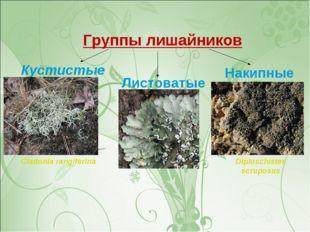 Группы лишайников Кустистые Листоватые Накипные Peltigerapolydactyla Diplosc