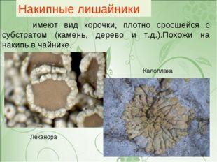 Накипные лишайники имеют вид корочки, плотно сросшейся с субстратом (камень,