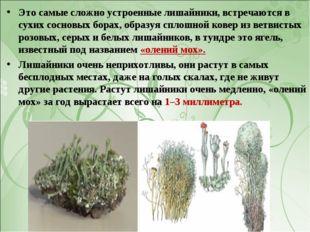 Это самые сложно устроенные лишайники, встречаются в сухих сосновых борах, об