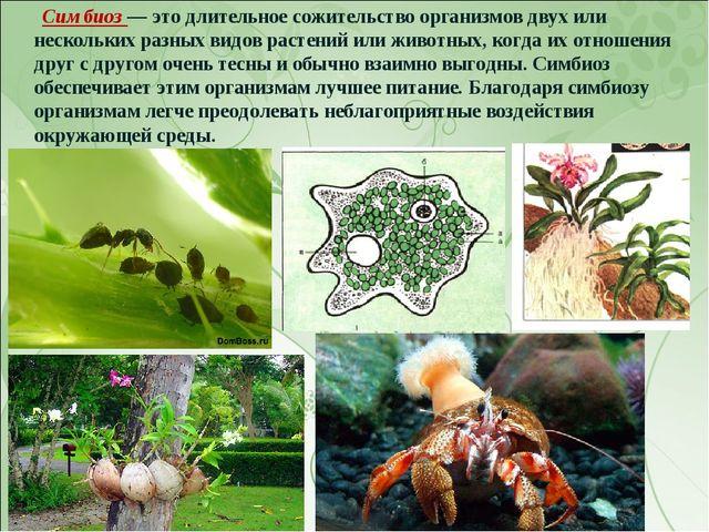 Симбиоз — это длительное сожительство организмов двух или нескольких разных...