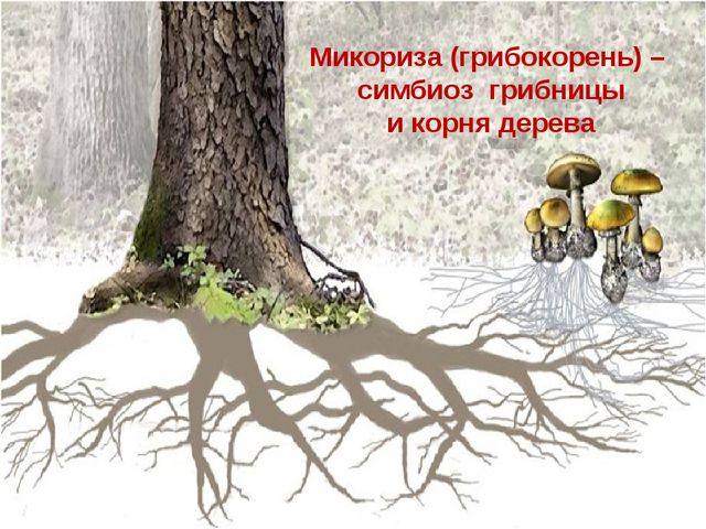 Микориза (грибокорень) – симбиоз грибницы и корня дерева