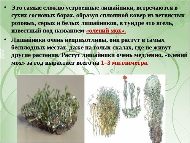 Это самые сложно устроенные лишайники, встречаются в сухих сосновых борах, об...