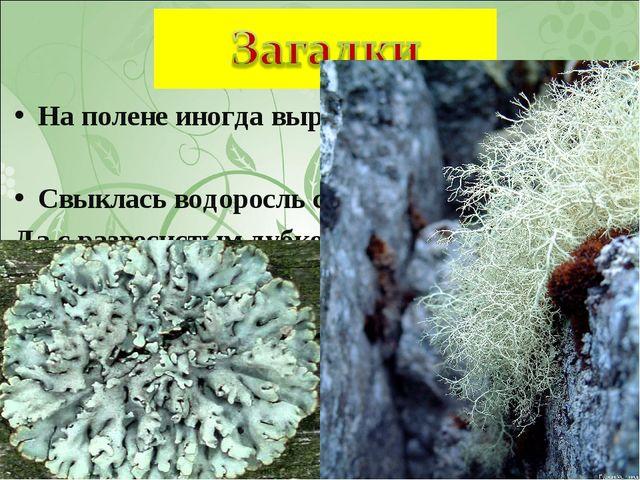 На полене иногда вырастает борода. Свыклась водоросль с грибком Да с развесис...