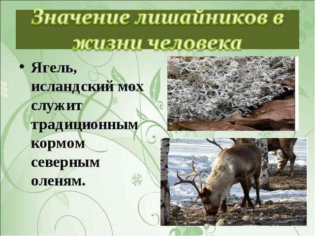 Ягель, исландский мох служит традиционным кормом северным оленям.