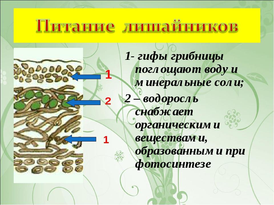 1- гифы грибницы поглощают воду и минеральные соли; 2 – водоросль снабжает ор...