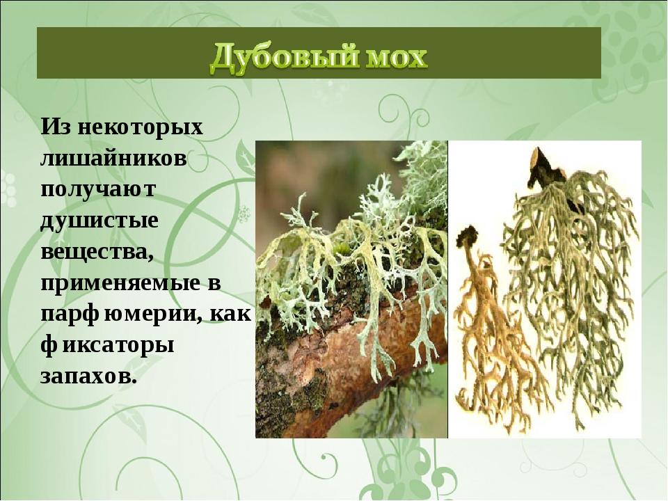 Из некоторых лишайников получают душистые вещества, применяемые в парфюмерии,...