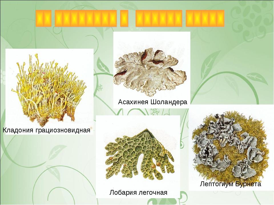 Кладония грациозновидная Лобария легочная Асахинея Шоландера Лептогиум Бурнета