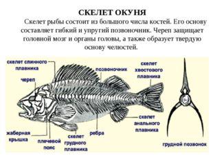 СКЕЛЕТ ОКУНЯ Скелет рыбы состоит из большого числа костей. Его основу составл