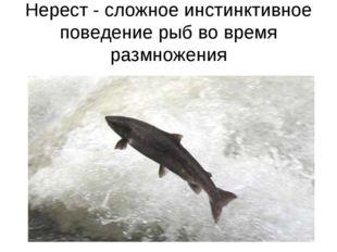 Нерест - сложное инстинктивное поведение рыб во время размножения