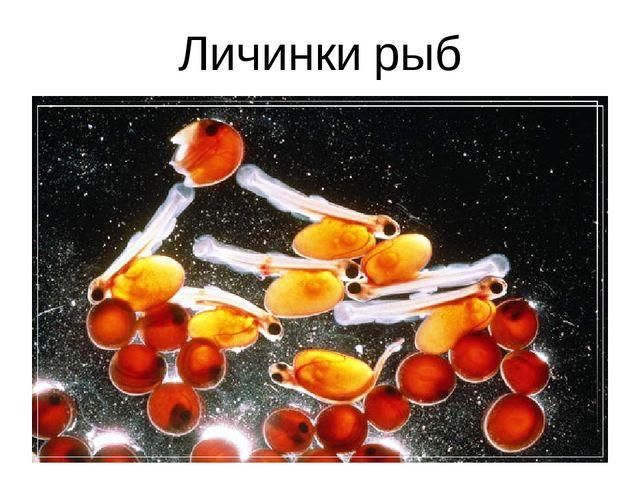 Личинки рыб