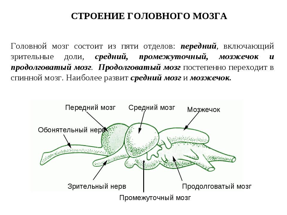 Головной мозг состоит из пяти отделов: передний, включающий зрительные доли,...