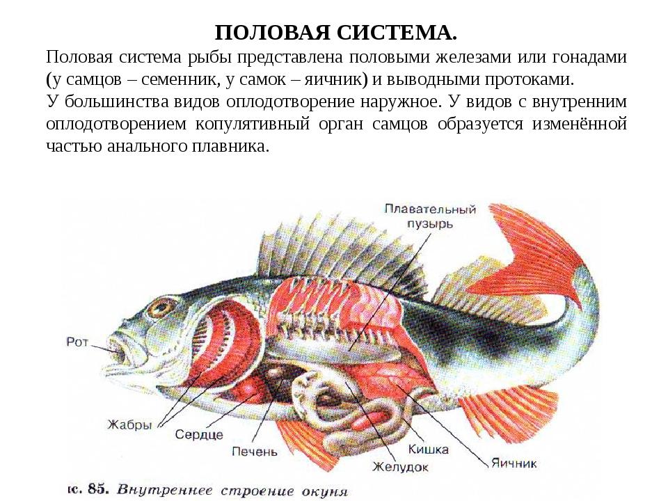 ПОЛОВАЯ СИСТЕМА. Половая система рыбы представлена половыми железами или гона...