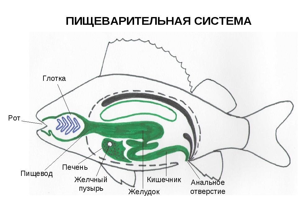 Картинки пищеварительная система рыб