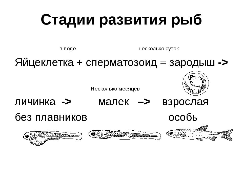 Стадии развития рыб в воде несколько суток Яйцеклетка + сперматозоид = зароды...