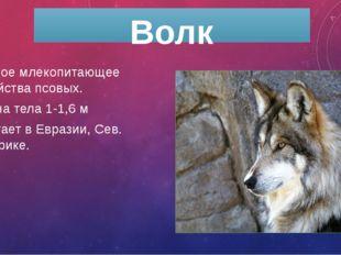 Волк Хищное млекопитающее семейства псовых. длина тела 1-1,6 м обитает в Евра