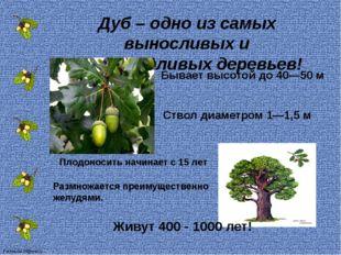 Дуб – одно из самых выносливых и неприхотливых деревьев! Ствол диаметром 1—1,
