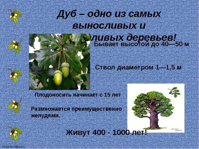 Дуб – одно из самых выносливых и неприхотливых деревьев! Ствол диаметром 1—1,...