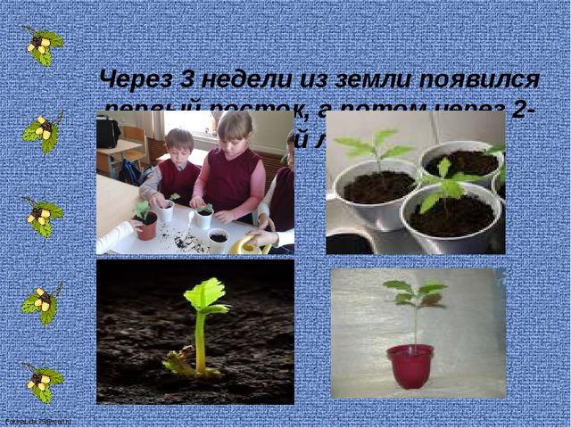 Через 3 недели из земли появился первый росток, а потом через 2- первый лист...