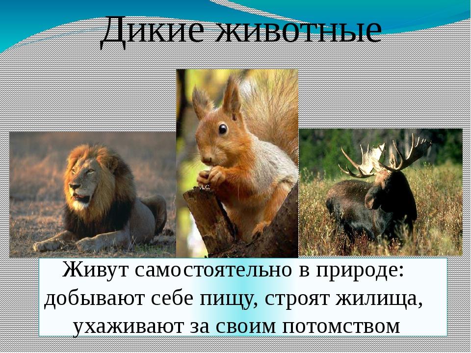 Дикие животные Живут самостоятельно в природе: добывают себе пищу, строят жил...