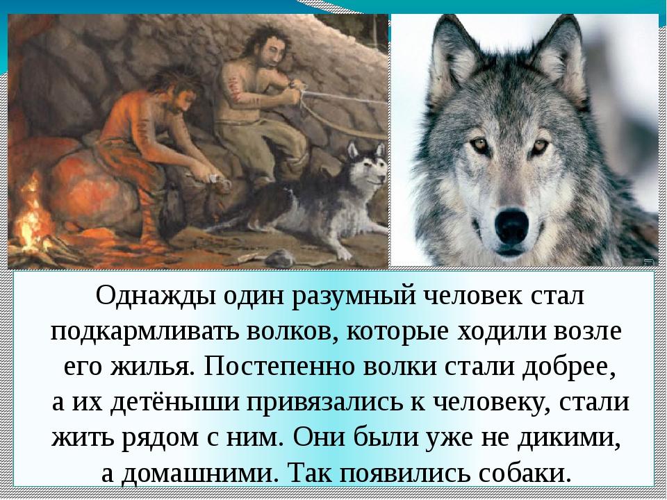 Однажды один разумный человек стал подкармливать волков, которые ходили возл...