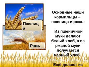 Основные наши кормильцы – пшеница и рожь. Из пшеничной муки делают белый хле