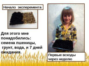 Начало эксперемента Для этого мне понадобились: семена пшеницы, грунт, вода,