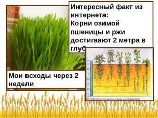 Мои всходы через 2 недели Интересный факт из интернета: Корни озимой пшеницы