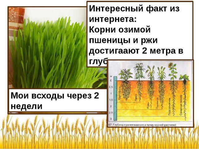 Мои всходы через 2 недели Интересный факт из интернета: Корни озимой пшеницы...