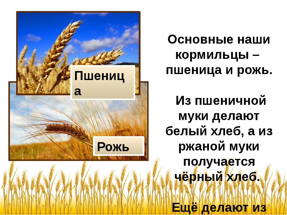 Основные наши кормильцы – пшеница и рожь. Из пшеничной муки делают белый хле...