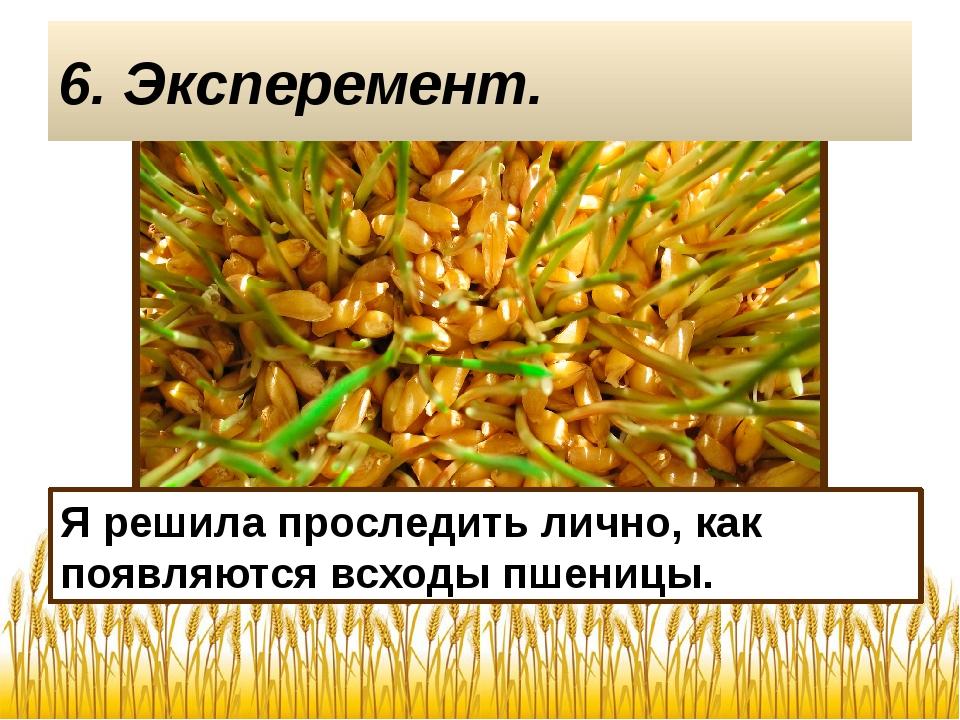 Я решила проследить лично, как появляются всходы пшеницы. 6. Эксперемент.