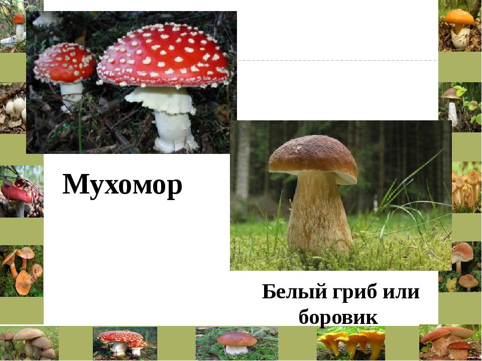 Мухомор Белый гриб или боровик
